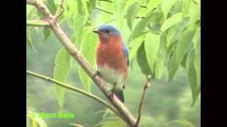 Merlebleu de l'Est/Eastern Bluebird