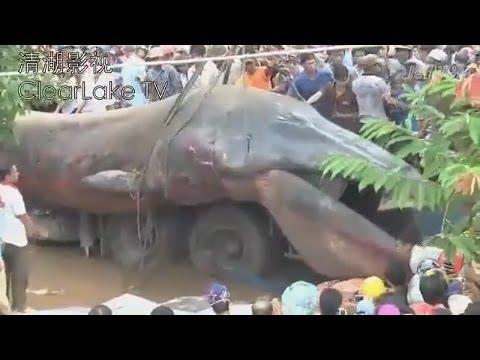 GIANT SEA MONSTER FOUND DEAD IN KHMER KROM CAMBODIA NOVEMBER 21 2013 EXPLAINED