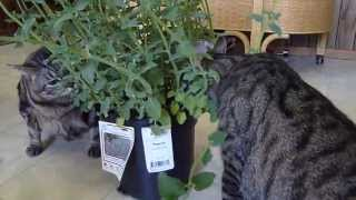 Kitties and the catnip plant