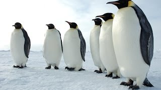 Penguins of the Antarctic - Nature Documentary