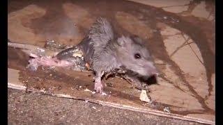 Prolifération de rats à Paris : la vidéo choc