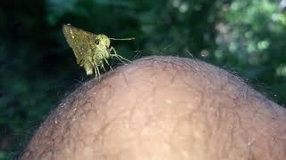 एउटा अनौठो पुतली जस्ले आफ्नो पिसाव आँफै खान्छ। A new butterfly that feeds own urine.