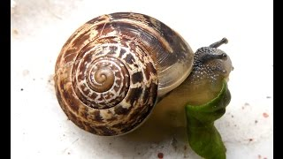 Watch Snail Eating Leaf / Mersin -Turkey / WB2100
