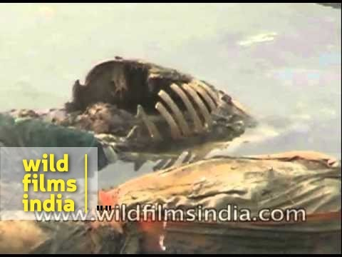 Xxx Mp4 Rotting Bodies Float In The River Ganga India 3gp Sex