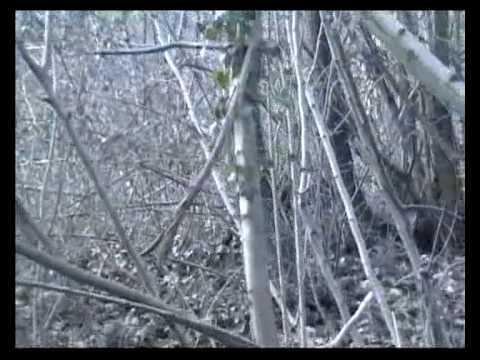 video de chasse aux faisans