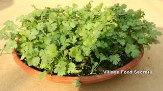 How to grow Coriander at home | Grow Coriander in your terrace garden | Village Food Secrets