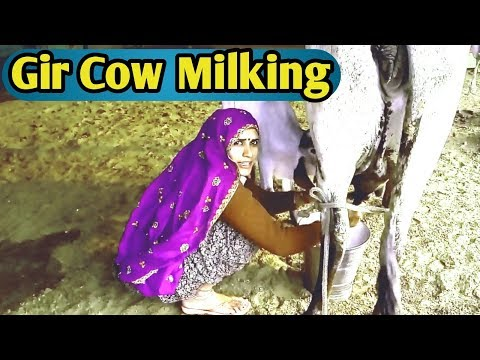Xxx Mp4 Gir Cow Milk Gujrat Gir Gaay Milking By Young Women Live Video 3gp Sex