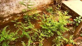 करी पत्ते का पौधा गमले में कैसे लगाएं- आपकी फरमाइश