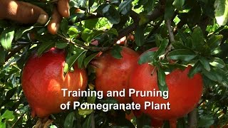 Training and Pruning of Pomegranate Plant