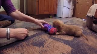 Dachshund Sausage Dog Puppy Playing ©2018   B John