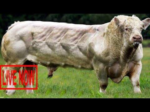 Intelligent Technology Smart Modern Farming USA Amazing Techniques Cow Breeding Super Charolai #ARJ