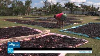 مزارعو الفانيليا في مدغشقر يحاولون حماية محاصيلهم في ظل غياب القوانين