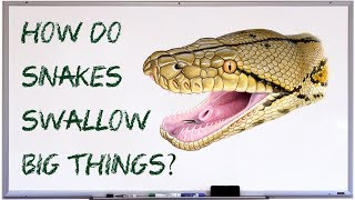 How do snakes swallow big things?