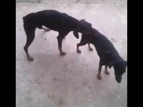 Dog Humping Fail   Video   KillSomeTime com