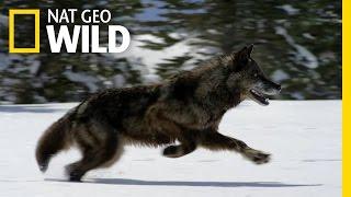 Hunting With the Dark Wolf | Wild Yellowstone