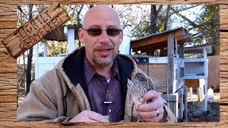How Much Does it Cost to Raise Quail - The SR Quail Update 11-27-17