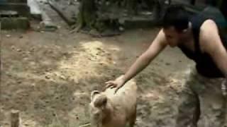 bangladeshi fighing sheep (Badal hussain is the owner)🇧🇩