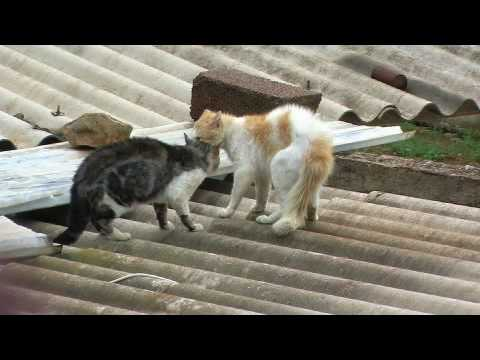 Combat de chat Chlef RADAR Zone 10 ivan violent Cat Figth