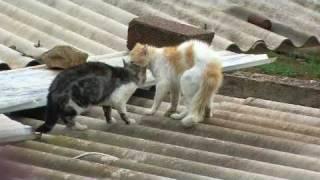 Combat de chat  Chlef RADAR Zone 10 (ivan) violent * Cat Figth *