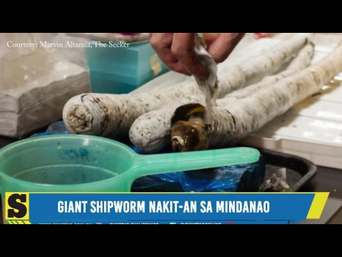 Xxx Mp4 Giant Shipworm Nakit An Sa Mindanao 3gp Sex