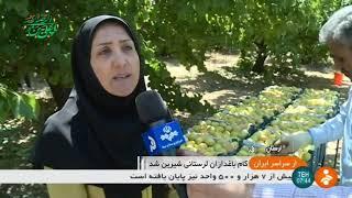 Iran Apricots harvest, Summer 1398, Lorestan province برداشت زردآلو استان لرستان ايران