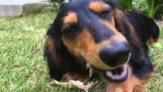 【Dog】おやつを食べるミニチュアダックスフンドのジョン    Miniature dachshund John eating a snack