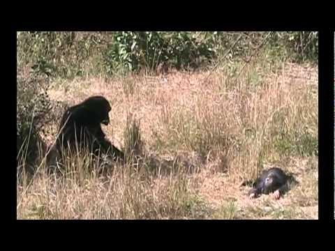 Mãe chimpanzé chora seu bebê morto Incrível