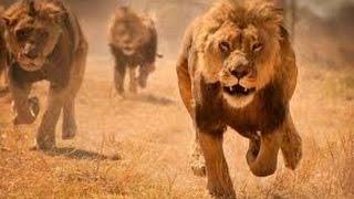 ★DOCY-DOC-HD-2016★Magnifique Documentaire Sur Les Lions Prédateurs De La Savane !!!