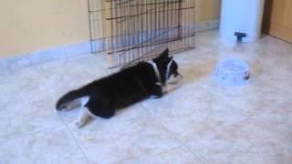 Chiara my siberian husky is growing up