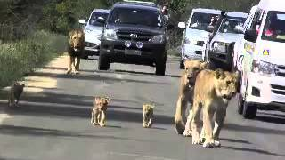 Lions Attack   Buffalo Meters   From Touristsline   The line on the road   junagadh  