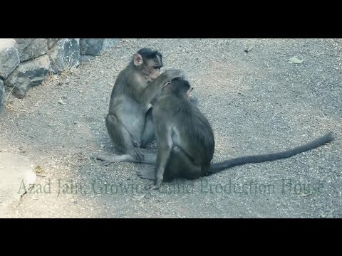 Mother son monkey love and affection in jungle at Elephenta Island Cave, Mumbai, India