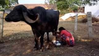 Excellent job of milking a buffalo by hand for family consumption in rural India
