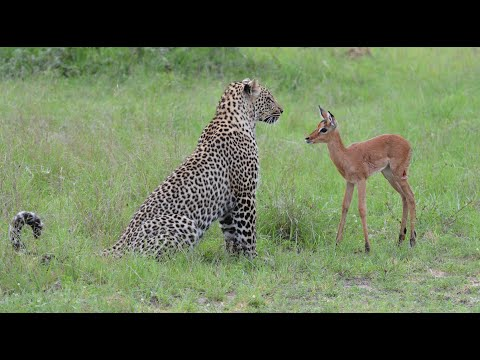 Incredible footage of leopard behaviour during impala kill natural variation