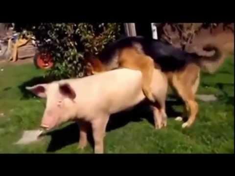 Dog mating black pig and white pig