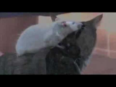 Amis comme chien chat et rat