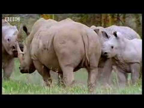 Rhinos look for love animal mating rituals in the African jungle BBC wildlife