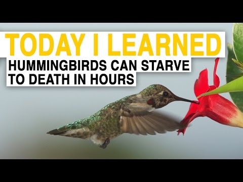 watch TIL: Hummingbirds Are the World's Hungriest Birds | Today I Learned