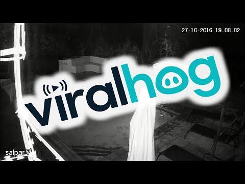 Crocodile Attacks Couple in Private Swimming Pool - CCTV Original