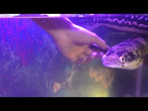 Xxx Mp4 Petting A Snakehead Channa Marulioides Toman Bunga 3gp Sex