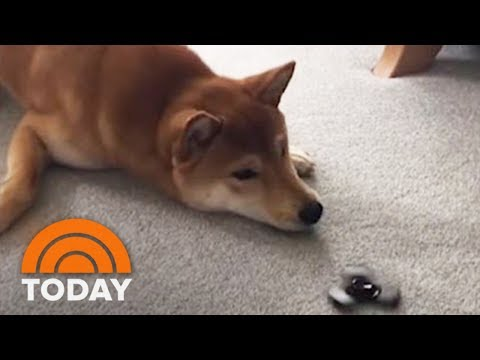 Xxx Mp4 Dog Can't Handle The Fidget Spinner Toy Craze TODAY 3gp Sex