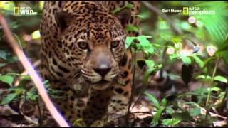 National Geographic Wild - Felini Il Predatore Perfetto ITA