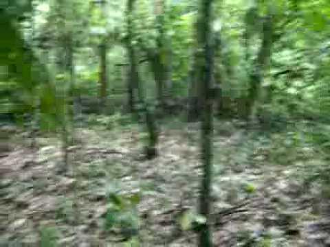 cachorro americano correndo cateto