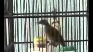 Burung Kores Brow