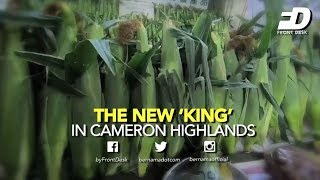 THE NEW 'KING' IN CAMERON HIGHLANDS