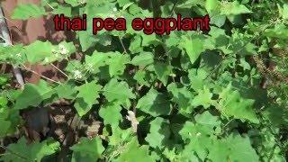 thai pea egg plant