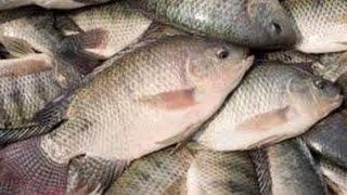 যে কারণে খাওয়া উচিত নয় তেলাপিয়া মাছ