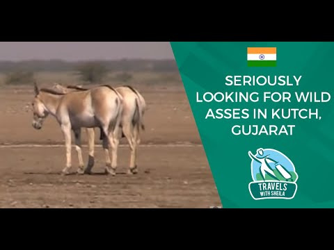 Seriously Looking For Wild Asses in Kutch, Gujarat
