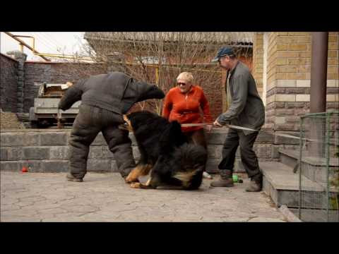 Tibetan Mastiff attack protection dog test Nasledie Tibeta Russia