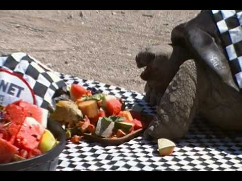 Xxx Mp4 Giant Tortoise Eating Fruit At Indianapolis Zoopolis 500 Race 3gp Sex