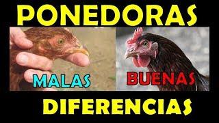DIFERENCIAS entre una BUENA y una MALA GALLINA PONEDORA -seleccion de aves